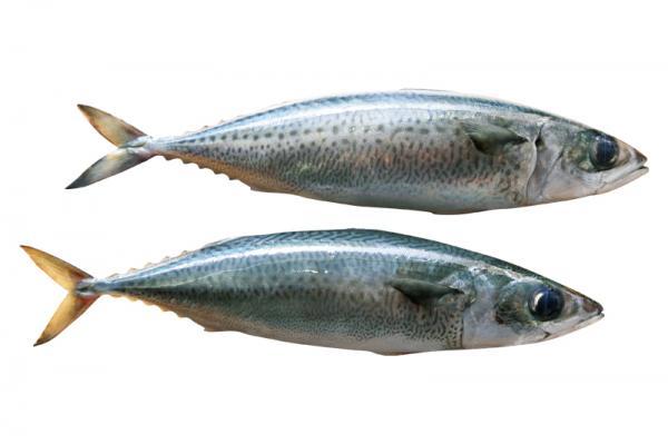 富含EPA與DHA的花腹鯖|台灣好食材...