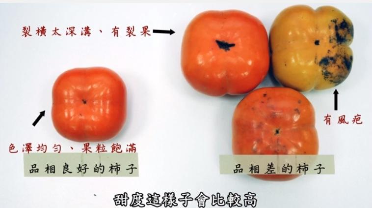 【台灣好食曆5】柿子紅了,挑選的撇步...