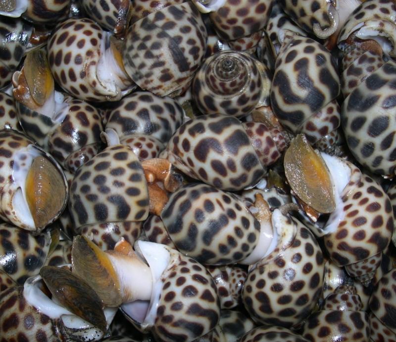 吃海鮮真的要小心!十種奪命織紋螺!含河魨毒素可致命!...