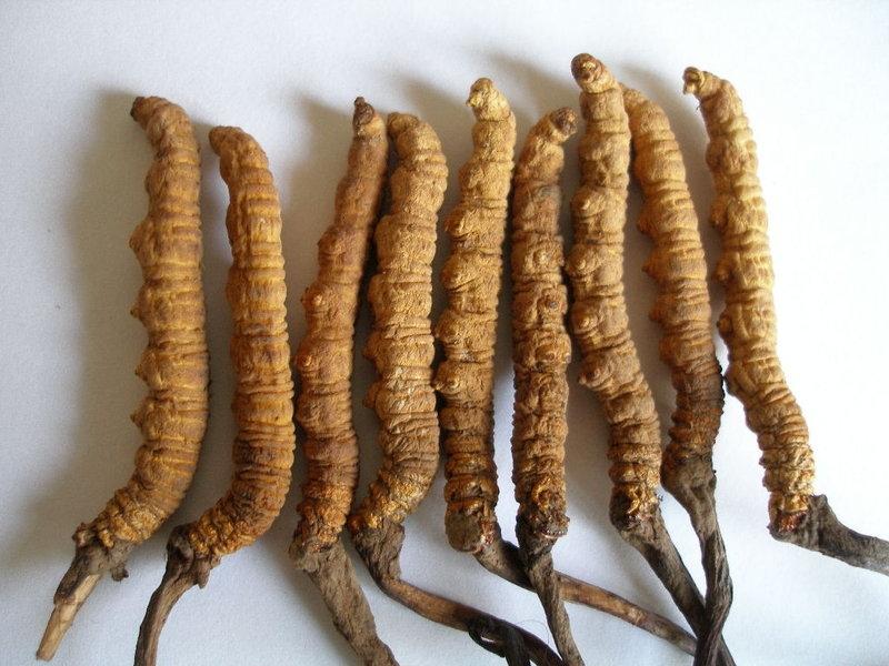 「冬蟲夏草」讓你傾家蕩產的可怕真相,你以為真的是保養品嗎?...