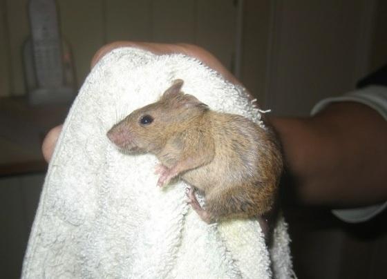 家裡出現「老鼠」怎麼辦?看完以後你會感謝我!(趕緊分享)...