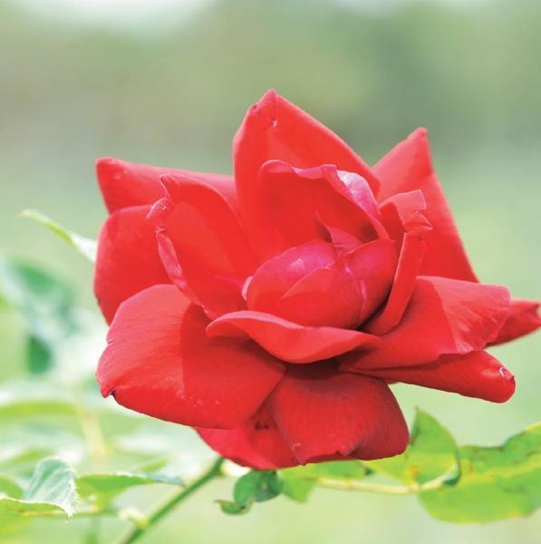 玫瑰養髮飲~生髮、抗掉髮 台灣好食材...