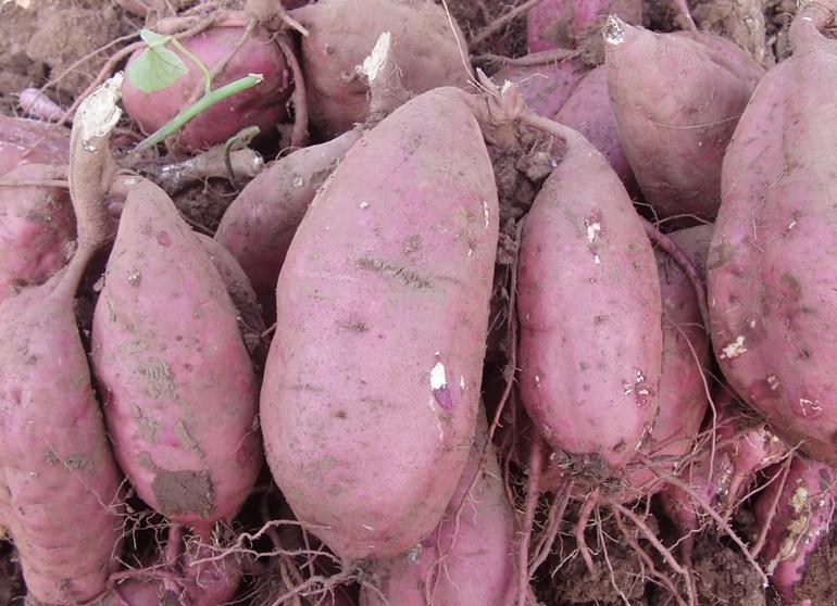 紅薯4種抗癌新吃法,方法對了,效果加倍!為了健康,你必須這樣...