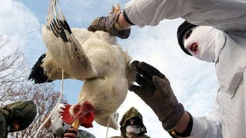 禽流感這麼嚴重如果要吃雞肉一定要避開這三個部位!...