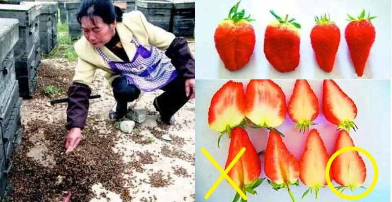 太可怕了!這樣的草莓你敢吃嗎?一位蜂農的忠告:珍惜生命遠離草...