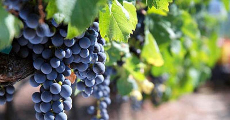 葡萄的功效竟比冬蟲夏草還強大,從小吃到大居然不知道...!!...