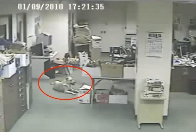 這隻突然從寧靜的辦公司裡奪門狂奔的狗狗,牠的反應隨時可以救人...
