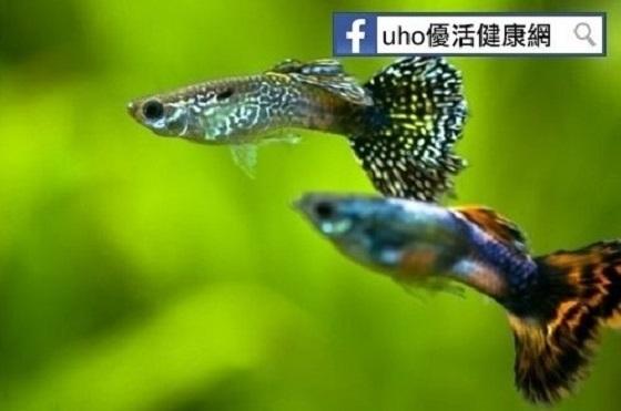 一條孔雀魚可吃200隻孑孓?!防登革熱的幾個小撇步,你一定要...