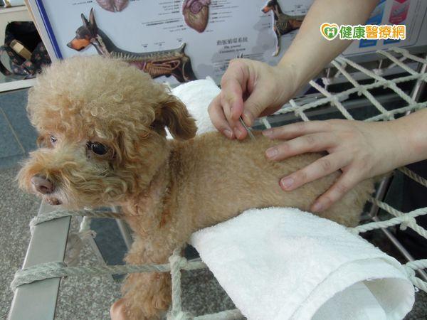 狗癱瘓一線生機中醫針灸助康復...