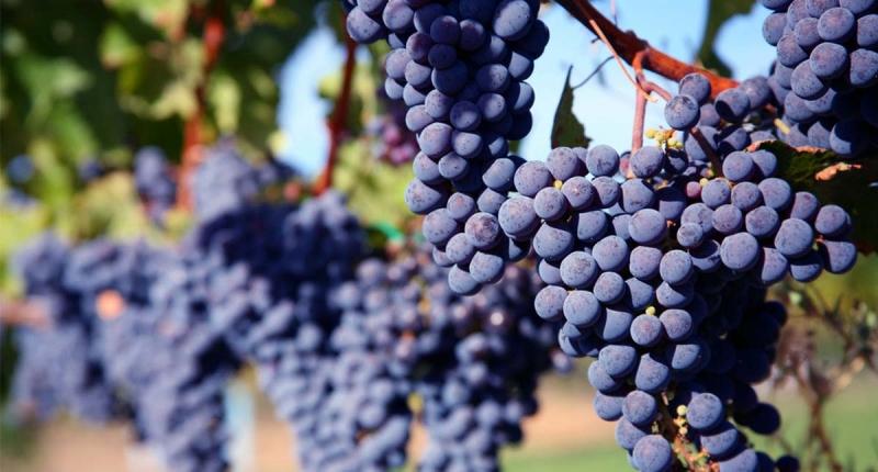 葡萄的10大好處曝光!想不到~秋天吃葡萄居然有這麽多驚人的好...