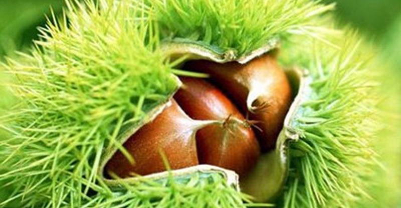 秋天才能吃到的「千果之王」,養髮補腎功效勝過人參!!你還不知...