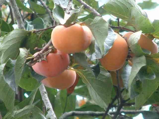 """我就不相信這有人知道,比蘋果、奇異果還強的水果,人稱""""神仙果..."""