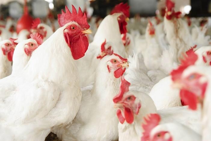 雞場的危機!從美國雞肉感染海德堡沙門氏菌案發現,「這個原因」...