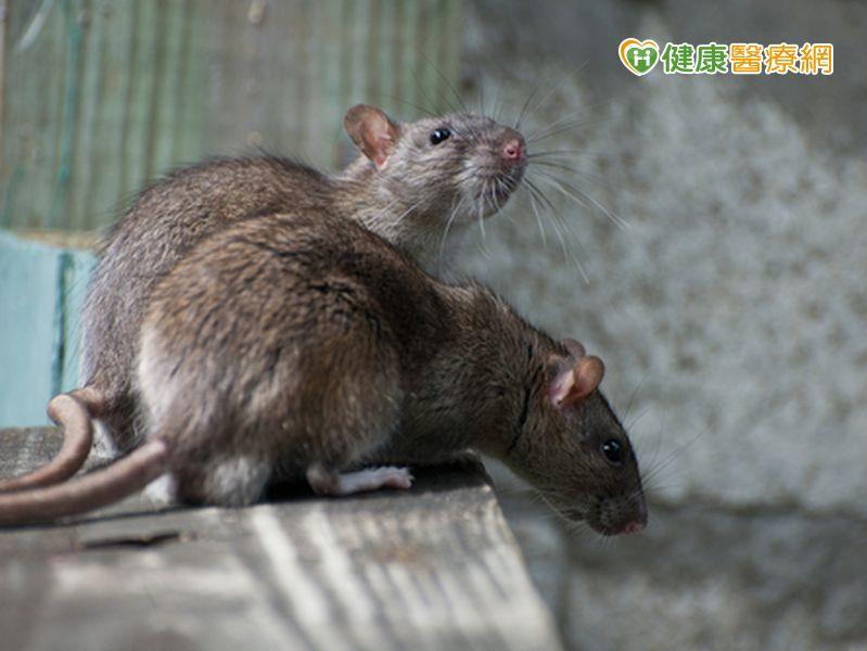 鼠患又來了!57歲肉販染漢他病毒...